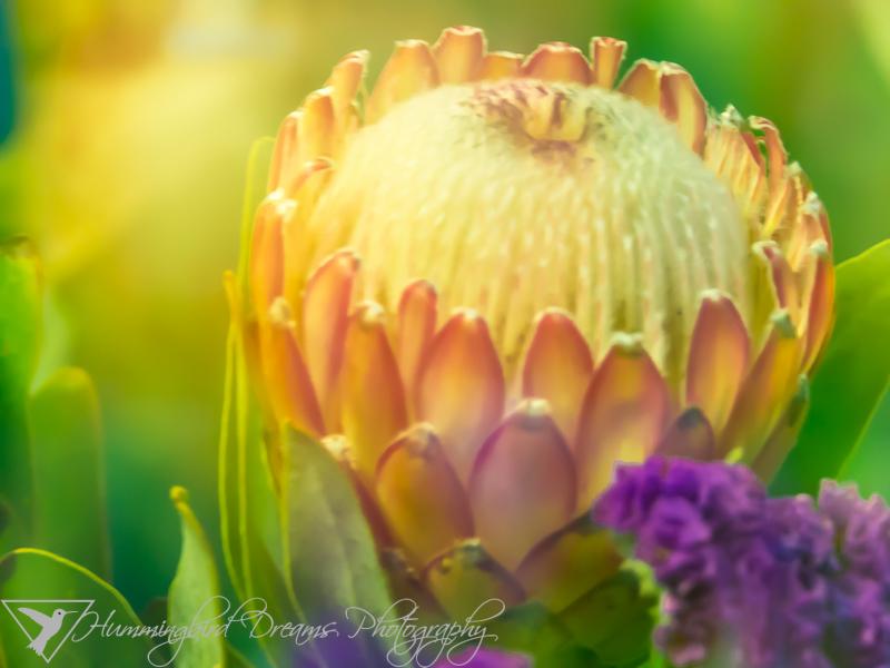 Fuzzy Snowball/Artichoke Flower