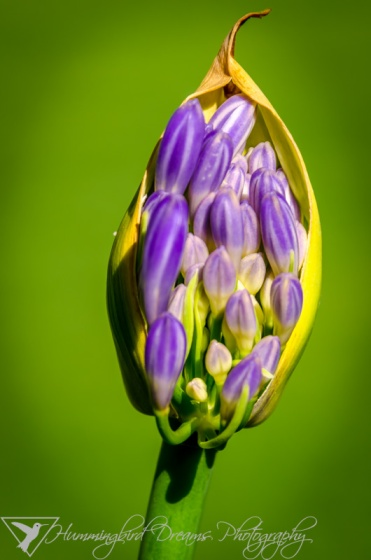 Young Agapanthus