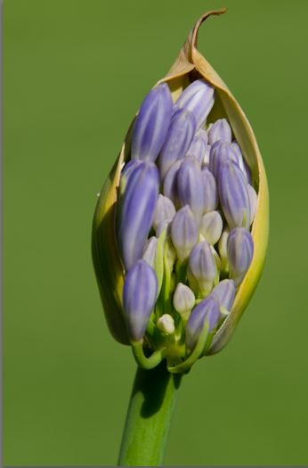 Young Agapanthus RAW file