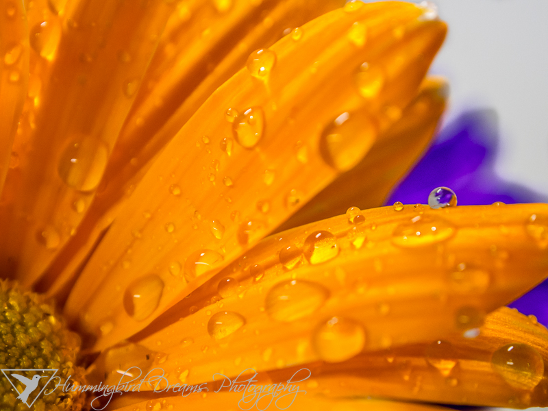 Wet, Orange Daisy