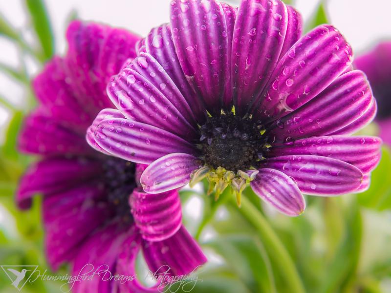 Osteospermum - Ostica Purple