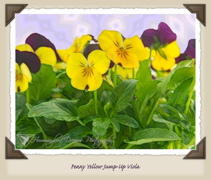 Penny Yellow Jump-Up Viola