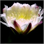Brightly lit cactus flower