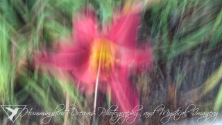 Daylily Magic - Original