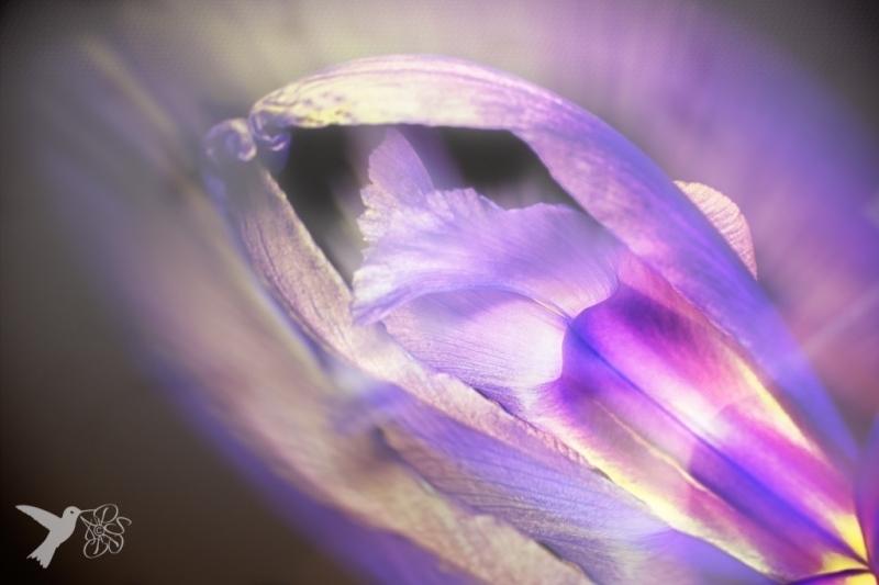 Ballerina Iris
